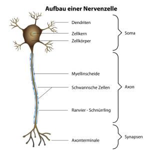 Aufbau einer Nervenzelle von oben (Dendrit) nach unten (Synapse) dargestellt