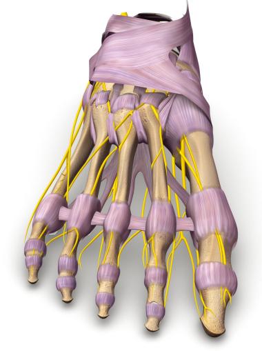 Schematische Abbildung der zehenversorgenden Nerven.