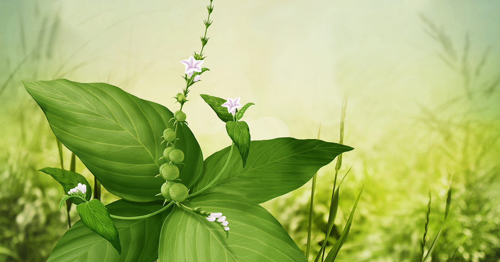 Spigelie  (Spigelia anthelmia)