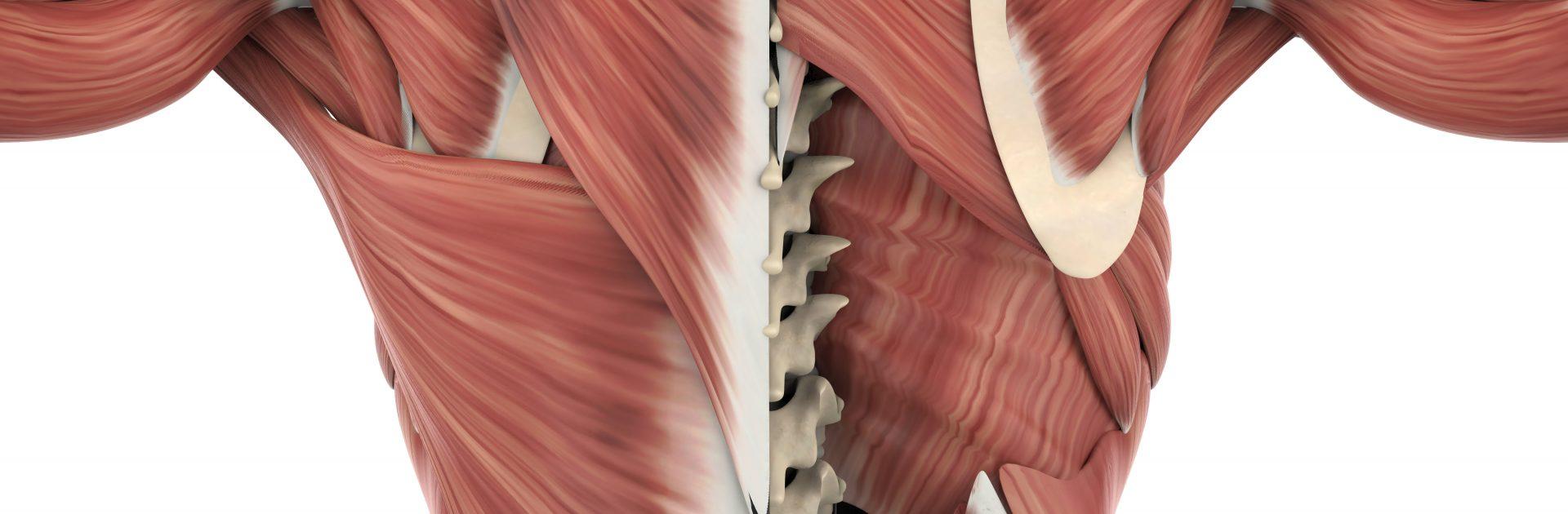 Darstellung der verschiedenen Gewebestrukturen des Rückens inklusive der Faszien.