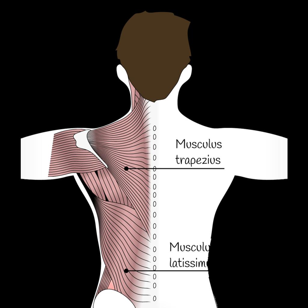 Die Rückenmuskulatur grafisch dargestellt.